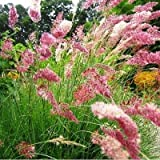 Pink Crystals Ruby Grass Seeds Melinis nerviglumis 25 Seeds