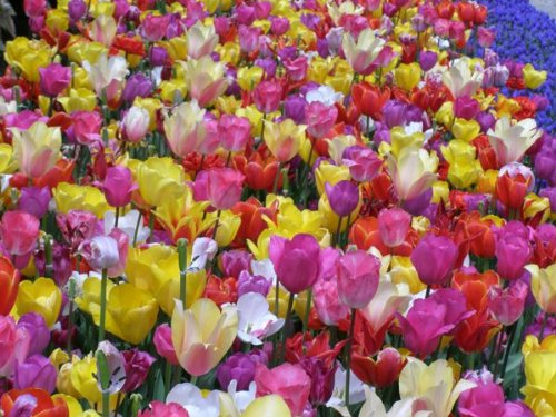 Mixed Bag of 100 Tulip Bulbs from our Collection by Quality Plants Online