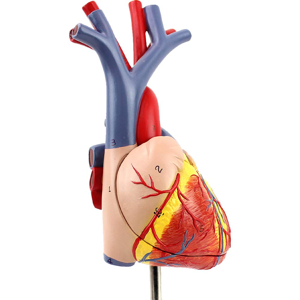 Human Heart Model For Learning Cross Section Anatomy Model 2 Part