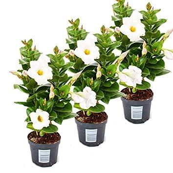 Dipladenia Chilenischer Jasmin 3 Pflanze Weiss Bluhend Amazon