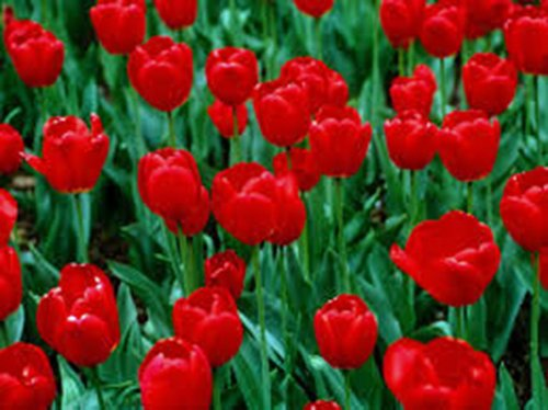 TULIP BULB 20 PACK, RED IMPRESSION, PURE BRIGHT RED PERENNIAL TULIP BULBS, RED FLOWERS (Tulip Bulb)