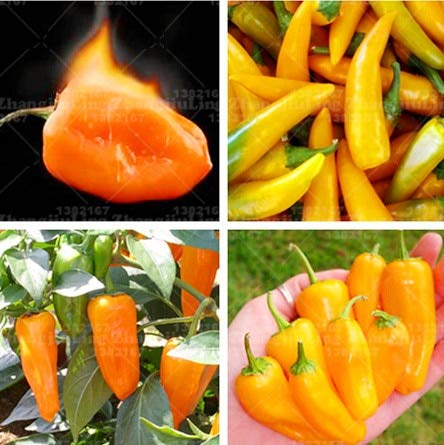 (Seed 100pcs Brazil's Hot Vegetable Plant Orange Chilli Pepper Plant Extremely Hot for and Grilled Steak )