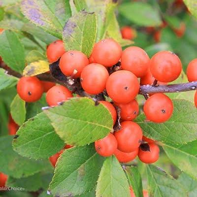 Green Promise Farms Ilex Little Goblin Orange (Winterberry) Shrub, 2 Size Container : Garden & Outdoor
