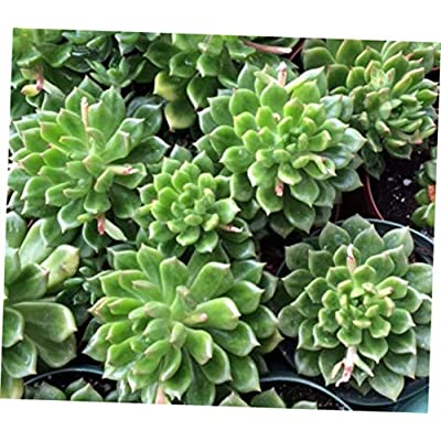 TEE 1 Bare Root Medium Succulent Plant. Echeveria Sleepy Hybrid Deep Green Rosette - RK59 : Garden & Outdoor