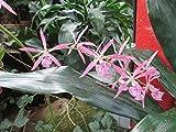 Epidendrum adenophora: Orchid