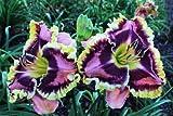 HALLOWEEN EFFECT ❀ Daylily Plants Fans Rebloomer Live Plants Perennial Flower