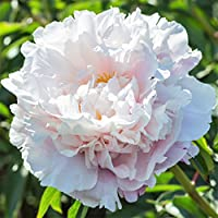 Peony Gardenia - 1 Healthy 3/5 Eye Peony Root Plant - Fragrant! | Ships From Easy to Grow TM