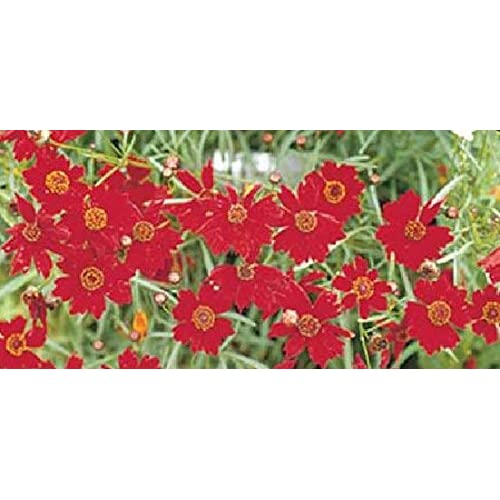 "(5"" Pot) Coreopsis ""Red Elf"", Tickseed (Groundcover), Deep Burgandy Red Blooms, Great For Borders, Highlights and Containers supplier 0MkGi0NI"