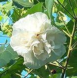 Hibiscus mutabilis | Confederate Cotton Rose Double | 20_Seeds