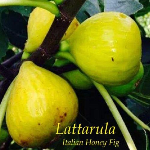 ~LATTARULA~ aka ITALIAN HONEY FIG Cold Hardy Ficus Tree Live small potted Plant (Fresh Fig Tart)