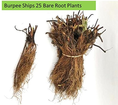 Burpee 'Seascape' Ever-Bearing Strawberry shipped as 25 BARE ROOT PLANTS by Burpee (Image #7)