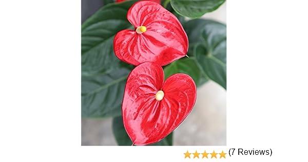 Anthurium - Maceta 17cm. - Altura aprox.65cm. - Planta de interior ...
