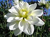 "'White Onesta' Waterlily Dahlia, 8"" Blooms"
