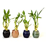 9GreenBox Live 3 Style Party Set of 4 Bamboo Plant Arrangement w/ Ceramic Vase