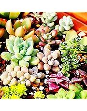 200pcs Mixed Succulent Seeds Lithops Rare Living Stones Plants Cactus