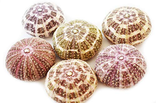 Set of 6 Beautiful Small Alfonso Gator Sea Urchins 1 1/2