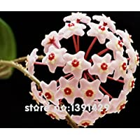 New Arrival 24 colors hoya seeds, potted seed, hoya carnosa flower seed Garden plants, perennial planting - 100 seeds