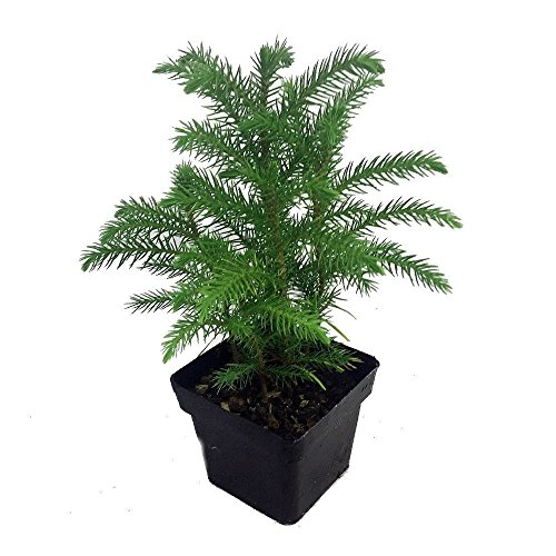 (HIGH Germination Seeds:Ohio Grown Norfolk Island Pine -Indoor Christmas Seed - 4