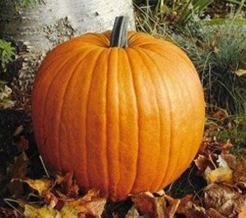 PUMPKIN CONNECTICUT FIELD Perfect for carving HEIRLOOM VEGETABLE 15 SEEDS