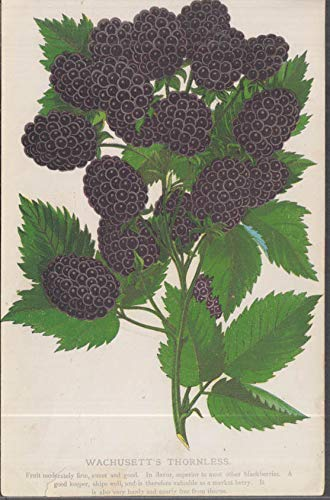(Stecher chromolithograph fruit plate 1880s: Wachusett's Thornless Blackberry)