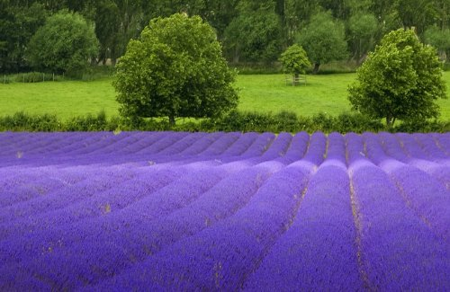 True English Lavender Vera Nice Garden Flower By Seed Kingdom BULK 10,000 Seeds~Exotic plants