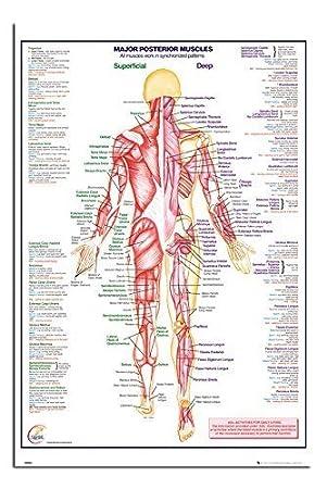 Menschlicher Körper Große Posterior Muskeln Poster Satin Matt ...