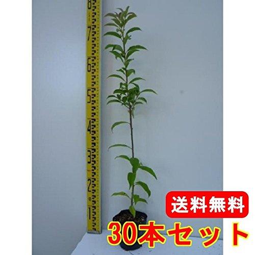 【ノーブランド品】ナナミノキ樹高0.5m前後10.5cmポット【30本セット】 B00W4VXU8W