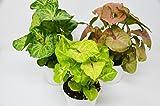 3 Different Syngonium Plants - Arrowhead Plant