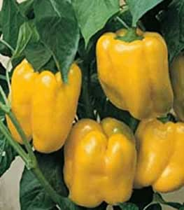QUADRATO D'ASTI GIALLO SWEET PEPPER 30 SEED EXCELLENT FOR FRYING SALADS STUFFING