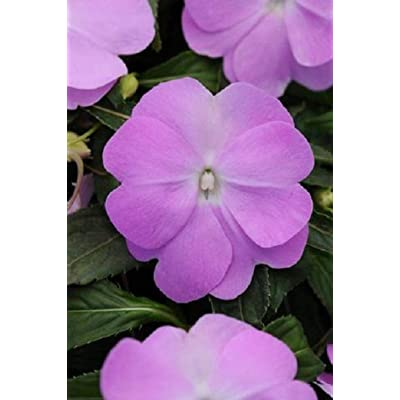 Organic New Guinea Divine Impatiens Seeds Blue Pearl 25 Thru 200 Seeds - 100 Seeds : Garden & Outdoor