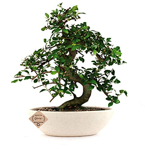 Abana Homes® Bonsai Tree Chinese Elm – A Beautiful House Plant Ceramic Pot