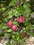 10 Seeds Prunus cerasifera Cherry Plum Fruit Tree