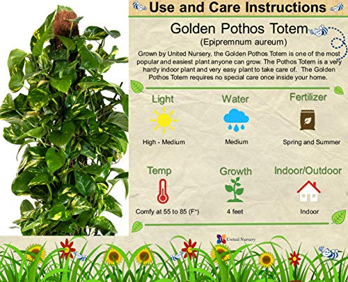 United Nursery Golden Pothos Totem Live Indoor Air Plant. 38'' Shipping Size. Shipped Fresh in Grower Pot from Our Florida Farm by United Nursery (Image #1)