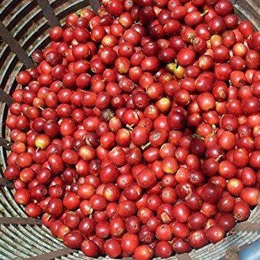 Cafe De Las Tierras Altas De Huehuetenango - 3+ Rare Organic Guatemalan Coffee Plant Seeds in FROZEN Ruin CAPSULES for Gardeners & Rare Seeds Collectors - Plant Seeds Now or Save Seeds for Years
