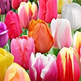 100 Landscape Mixture Tulip Bulbs - Tulipa Triumph