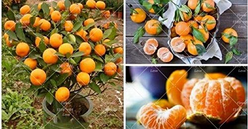 PlenTree 20 pcs Arbre Mini bonsa/ï Orange bonsa/ïs NO-OGM Balcon Patio Potted Arbres fruitiers Kumquat Mandarine