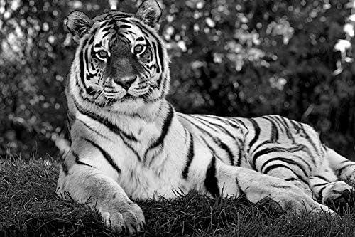 タイガー壁紙-動物の壁紙-#25600 - 白黒の キャンバス ステッカー 印刷 壁紙ポスター はがせるシール式 写真 特大 絵画 壁飾り120cmx80cm