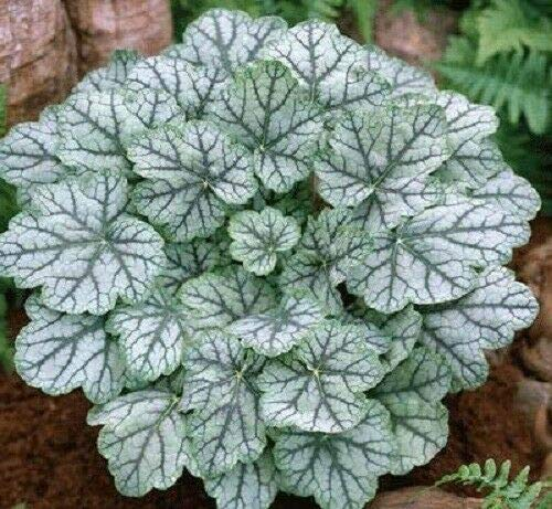 (1200 Mixed Colors Coral Bells HEUCHERA Shade Flower Seeds + Gift & Comb S/H)