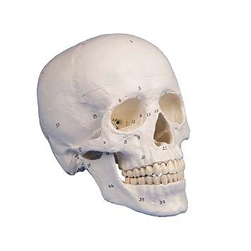 Schädel Modell, 3-teilig, nummeriert, anatomisch, Skelet, Kopf ...