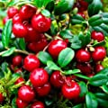 Russian Rubin Lingonberry, Lingonberry Seeds from Russia