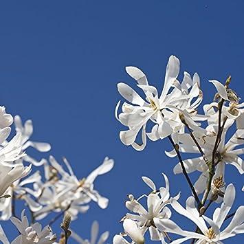 Yougarden Standard Magnolia Stellata Tree Amazoncouk Garden