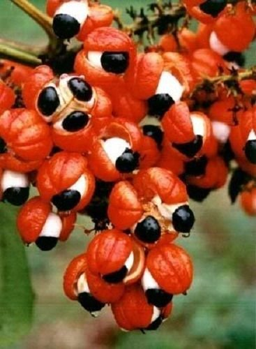 GUARANA Paullinia Cupana Shrub Vine Seeds