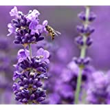 "Findlavender - Lavender MUNSTEAD (Dark Purple Flowers) - 4"" Size Pot - Zones 5 - 9 - Bee Friendly - Attract Butterfly - Evergreen Plant - 18 Live Plant"