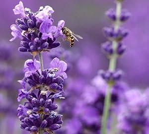 Amazon Com Munstead Lavender Herb Perennial 8 Plants