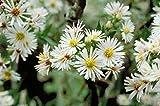 300 Seeds of Symphyotrichum ericoides, White Heath Aster