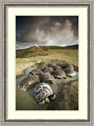 framed-art-print-galapagos-giant-tortoise-group-wallowing-alcedo-volcano-galapagos-ecuador-by-tui-de