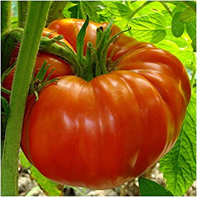 Package of 80 Seeds, Beefsteak Tomato (Lycopersicon esculentum) Non-GMO Seeds by Seed Needs