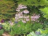 PRIMULA JAPONICA MIX' - PRIMROSE - PLANT