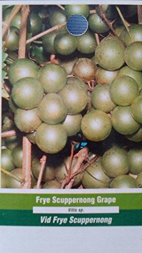 Concord Grape Vine 3 Gal Plants Vines Vineyard Home Garden Plant Healthy Grapes