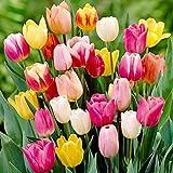 60 Days of Tulips Mixture!! 50 Tulip Bulbs - Tulipa Triumph